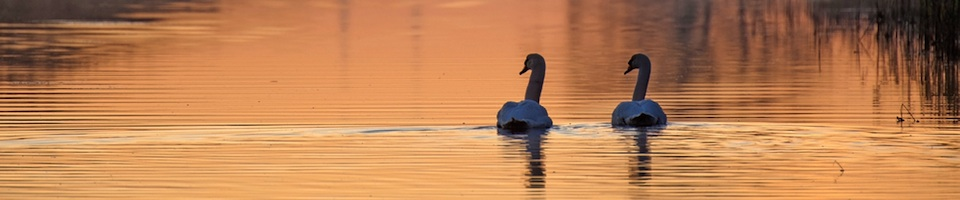Swans on the river at sunrise